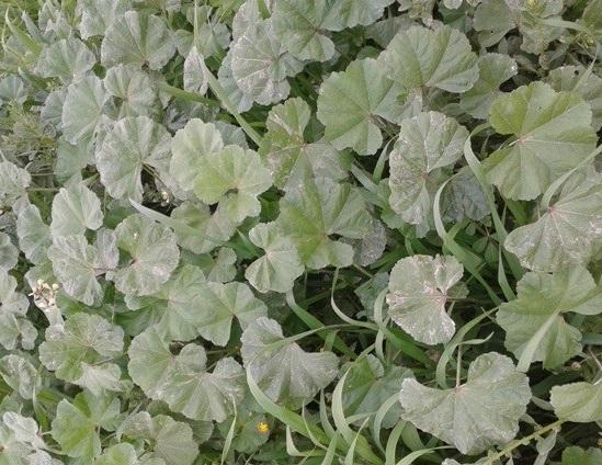 سبزی توله خوزستان