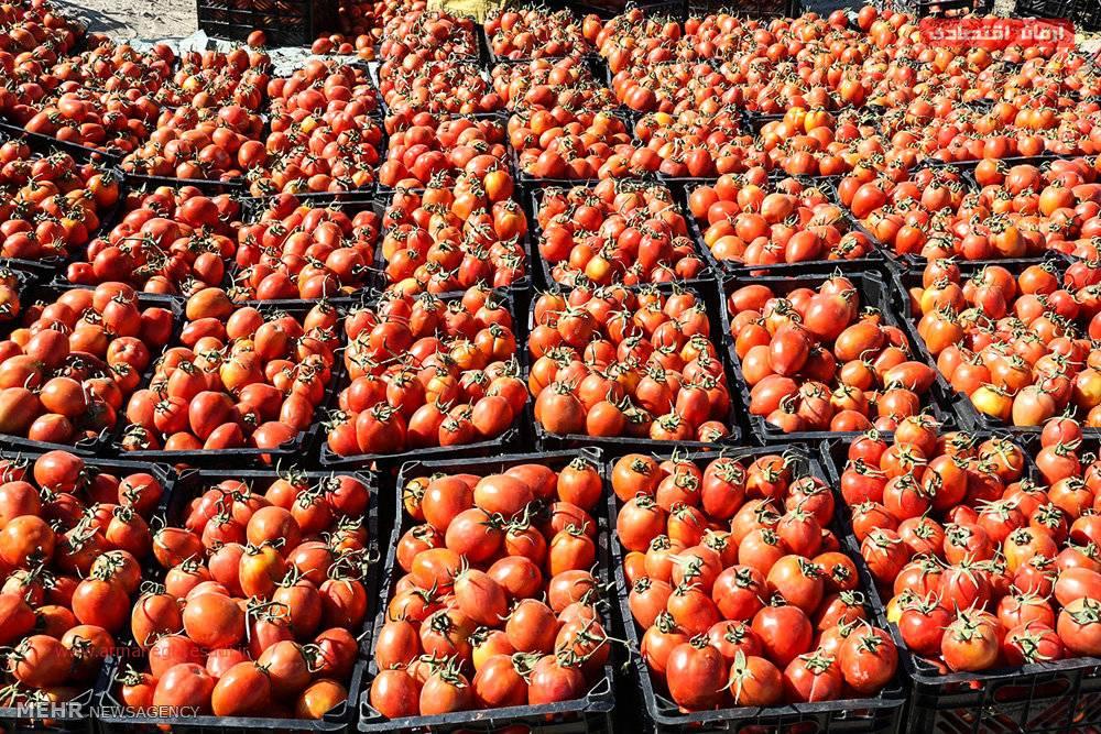 علت رنگ قرمز گوجه فرنگی علت رنگ قرمز گوجه فرنگی
