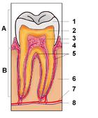 تعداد دندان های شیری تعداد دندان های شیری